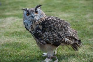 that owl again